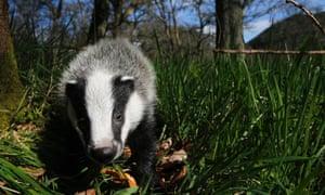 A badger walks in woodland under spring sunshine in Perthshire, Scotland April 17, 2014.