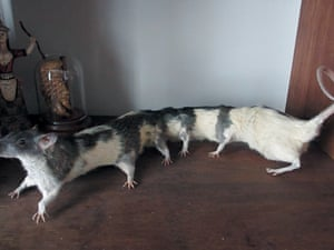 Ratipede