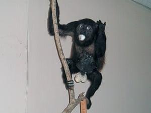A well endowed howler monkey