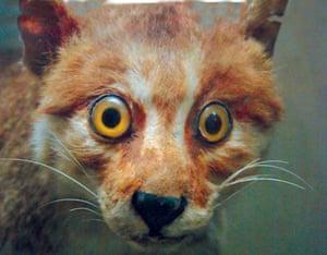 Startled fox