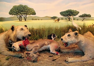 A typical African scene, lions and a rabbit on the Serengeti