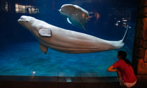 A keeper checks on two beluga whales at the Beijing Aquarium, the largest aquarium in China.