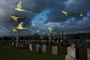 Rose-ringed parakeets flying over a London cemetery
