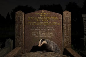 A young European badger emerges from beneath a gravestone in Bristol