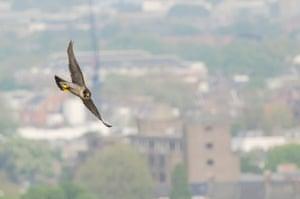 An adult female peregrine falcon in flight in London