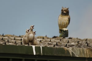 Urban herring gull nestlings calling for food with an owl decoy in the background, in Bristol