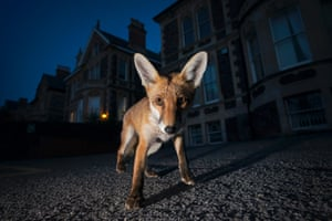 A young adult male red fox in the middle of the night in Bristol