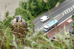 A juvenile peregrine falcon perched on a cliff above a busy main road and river in Bristol