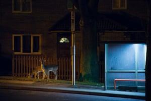 Urban fallow deer feeding beside a bus stop in London