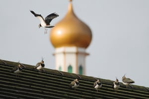 Urban lapwings on a rooftop in Manchester