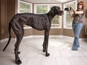 Zeus, the tallest doeg in the world with his owner Denise Doorlag.