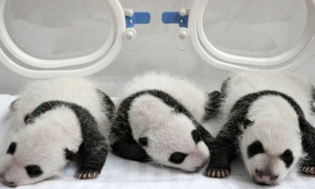 Newborn giant panda triplets