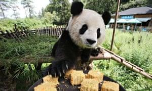 Panda yunnan safari park
