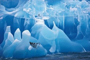 Chinstrap Penguins rest on a rare blue Iceberg. Antarctic Prion flies over. Antarctica
