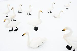 Whooper swan (Cygnus cygnus). Japan, Hokkaido. Whooper swan on a frozen lake. February 2010.