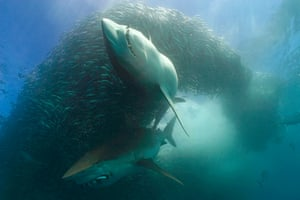 Copper sharks or bronze whalers, Carcharhinus brachyurusfeeding in baitball of sardines or pilchards, Sardinops sagax, along with bonito, Euthynnus affinis, releasing a cloud of fish scales and blood, the Wild Coast, Transkei, South Africa (Indian Ocean)