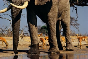 African elephant and impalas at waterhole, Loxodonta africana, Aepyceros melampus, by Frans Lanting