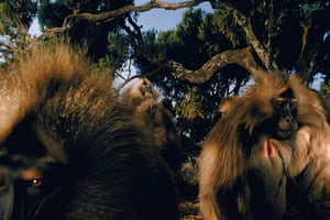 A group of bachelor male geladas, Theropithecus gelada, flash their eyelids at a family male that provokes them with aggressive postures, Simen Mountains National Park, Ethiopia, 2002.