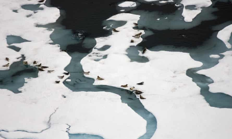 Aerial of ringed seals outside their breathing holes on multi layer Arctic sea ice