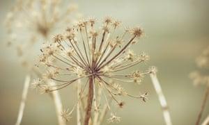Angelica seedhead