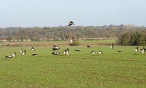 Egyptian Geese Alopochen aegyptiacus feral introduced population, Filby, Norfolk,