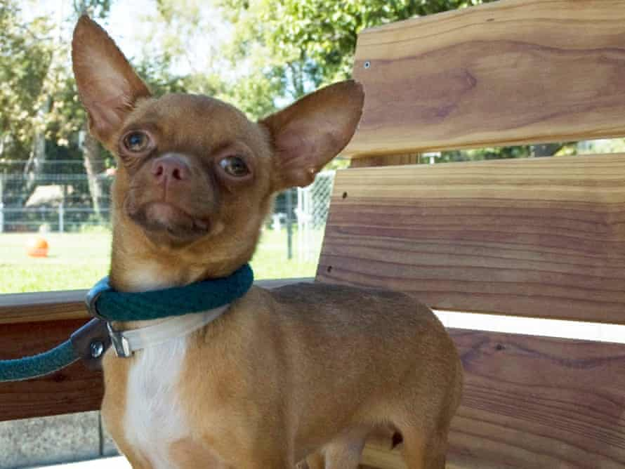 Dogs On A Plane Air Chihuahua Flies 500th Pup Across America For Adoption Animals The Guardian