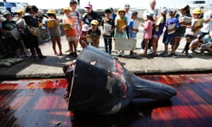 To mark the start of Japan's whaling season, workers in the coastal town of Minamiboso carved up one of the animals as a crowd of grade school students and residents watched, with free samples of its fried meat handed out later