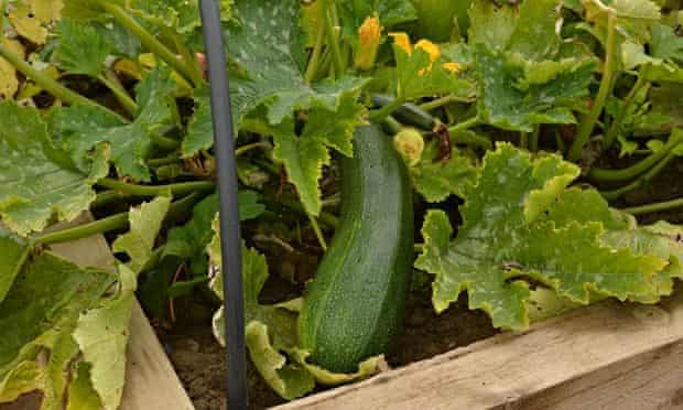A courgette grown at Hartlepool Team 34's allotment