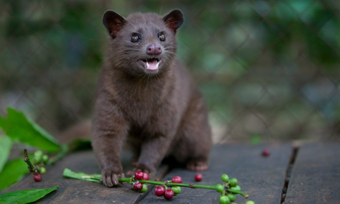 Civet cat coffee: can world's most expensive brew be made