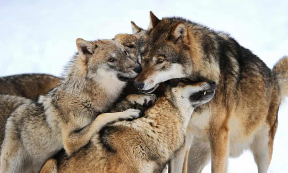 European Wolf gray
