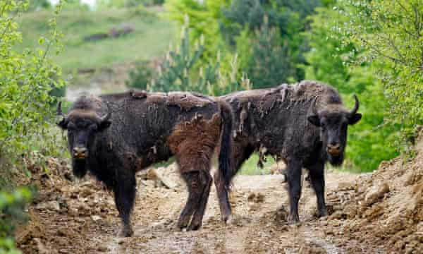 Two European bison (Bison bonasus) stand together after being relocated, at Armenis, Tarcu Mountains, southwestern Romania, May 17, 2014.