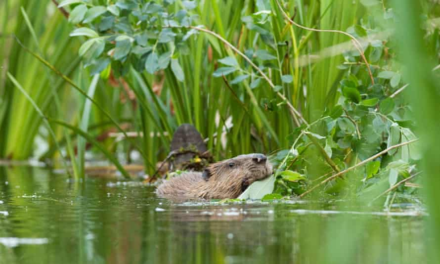 Trial reintroduction project of European beavers at Ham Fen Nature Reserve. Kent, UK,