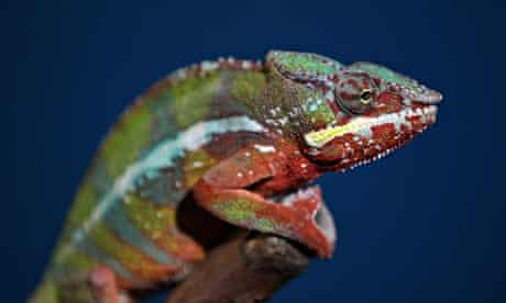 A Panther Chameleon pictured at Heathrow Airport's Animal Reception Centre on January 2011 in London