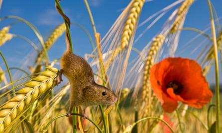 Secret Lives Of The Harvest Mice