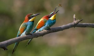 A pair of European Bee Eaters at National Trust Wydcombe, on the Isle Wight in August 2014.