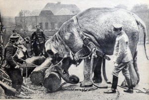 An elephant, donated to the army by a German zoo helps behind the Western Front in 1915.