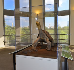 Lonesome George at the American Museum of Natural History