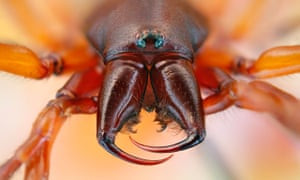 Head of a woodlouse spider