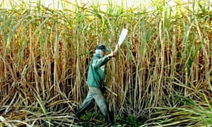 A worker cuts sugar cane