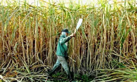 A worker cuts sugar cane