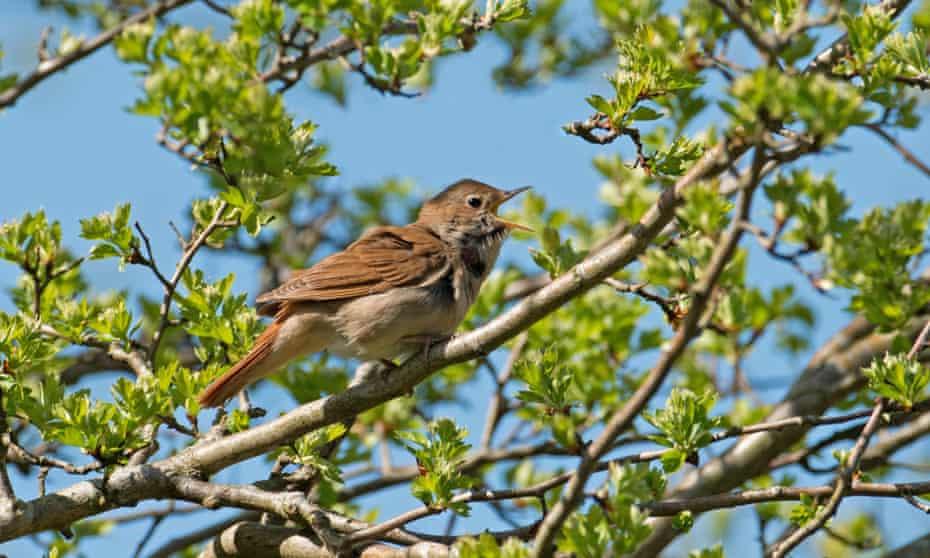 Nightingale, Luscinia megarhynchos Isinging
