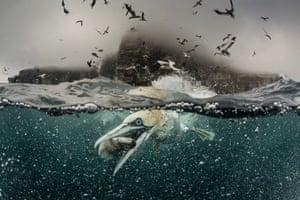 A gannet grabs a fish by its beak in Shetland, Scotland. Hundreds of gannets crash into the sea in search of food, leaving a trail of air bubbles in their wake. Richard Shucksmith, 41, on the Shetland Isles, Scotland captured the remarkable scene as he took a boat to feed the large colony of seabirds that nested on the cliffs. The photographer has taken images of the gannets every summer for the last three years as the birds gather on the cliffs to breed.