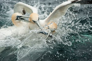 Three gannets fight for a fish, 2014, in Shetland, Scotland.   Hundreds of gannets crash into the sea in search of food   leaving a trail of air bubbles in their wake. Richard Shucksmith, 41, on the Shetland Isles, Scotland captured the remarkable scene as he took a boat to feed the large colony of seabirds that nested on the cliffs. The photographer has taken images of the gannets every summer for the last three years as the birds gather on the cliffs to breed.