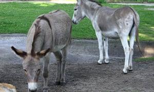 Polish donkey couple Napoleon (l) and Antosia