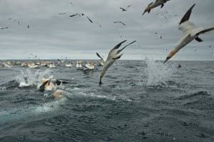 Gannets dive into the water in search of food, 2014, in Shetland, Scotland.   Hundreds of gannets crash into the sea in search of food   leaving a trail of air bubbles in their wake. Richard Shucksmith, 41, on the Shetland Isles, Scotland captured the remarkable scene as he took a boat to feed the large colony of seabirds that nested on the cliffs. The photographer has taken images of the gannets every summer for the last three years as the birds gather on the cliffs to breed.