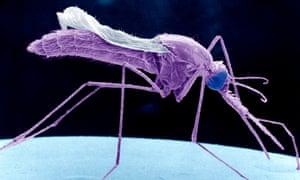 Mosquitoes transmit malaria