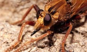 hornet robber fly