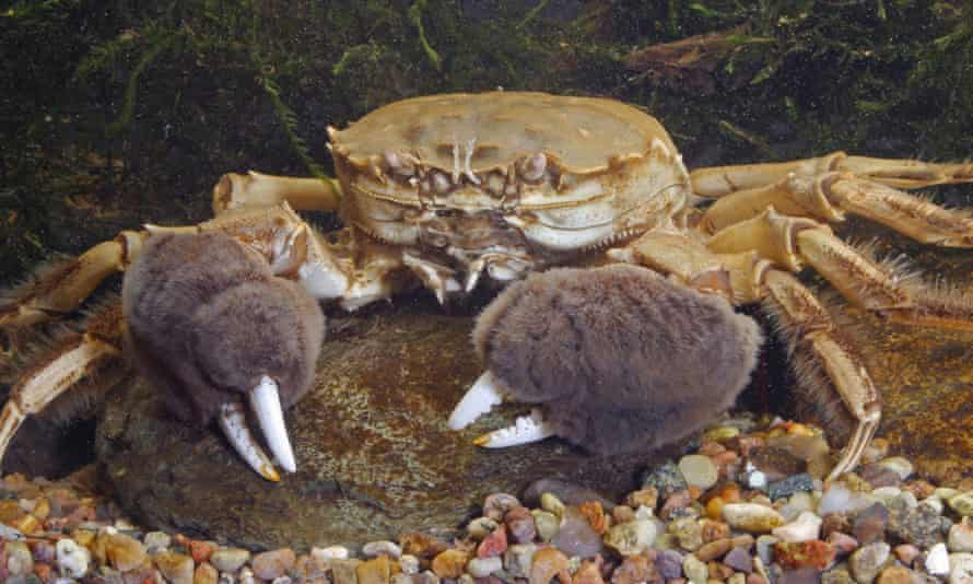 Remains of a Chinese mitten crab (Eriocheir sinensis) were found north of the border for the first time