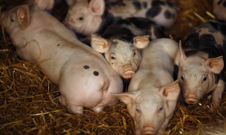 Piglets for livestock rustling feature