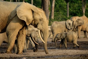 Forest elephant (Loxodonta africana cyclotis) West and Central Africa Rapid deforestation by loggers has left forest elephants with just 6% of their historic range. The population size declined by more than 60% from 2002-11, primarily due to rampant poaching for ivory.